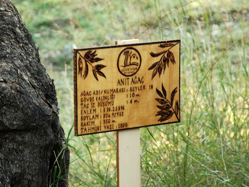 Ölümsüz Ağaçlardan Elde  Edilen Zeytinyağları Müzayedeyle Satılacak