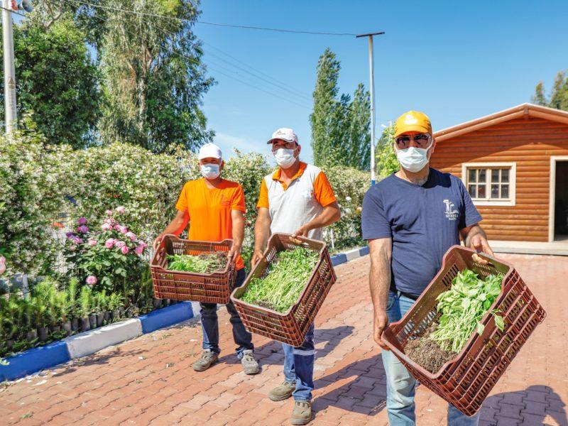 Seferihisar Belediyesi'nden yerel tohumdan 100 bin fide